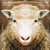 sheep jigsaw puzzle